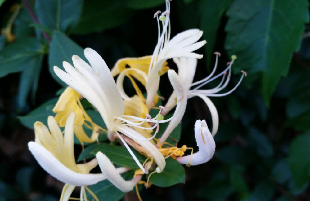 HoneysuckleRoseDetailFlowers